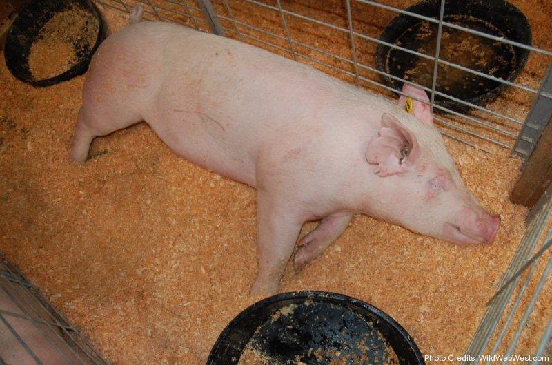 Napping pig