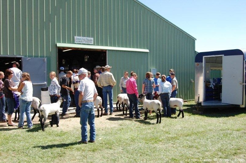 4H Lambs being shown