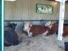4H Cows